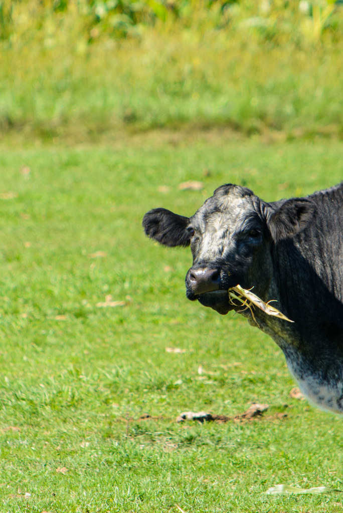 nom_nom_cow
