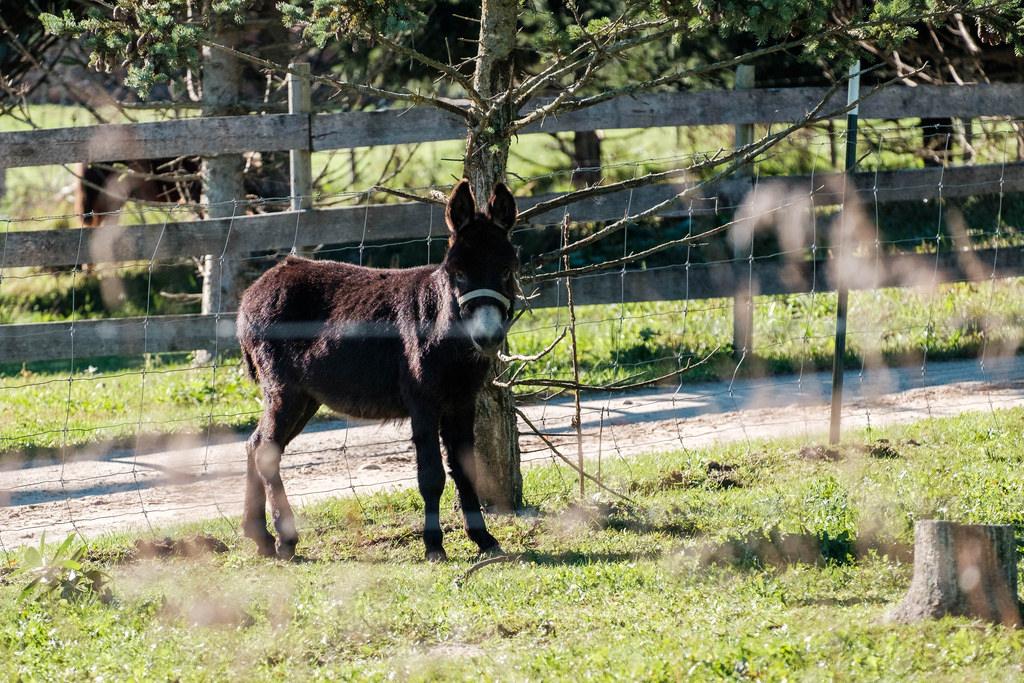 ass-mule