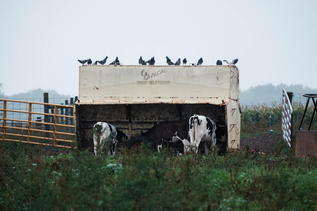 birds_cows_eating