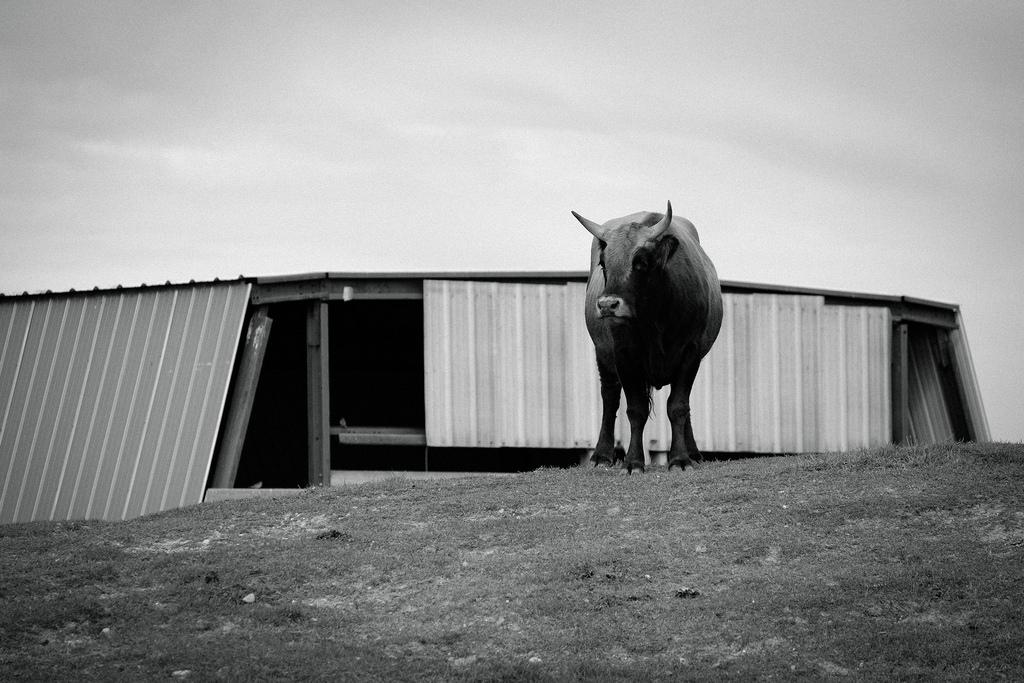 bull-bw-barn
