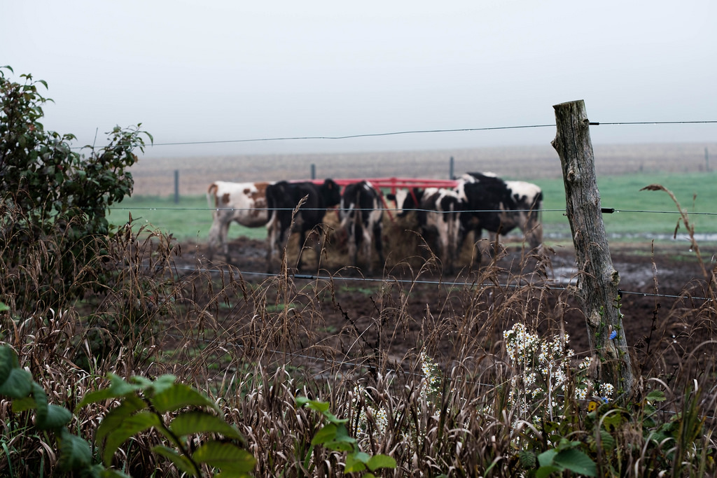 cows-beyond-fence