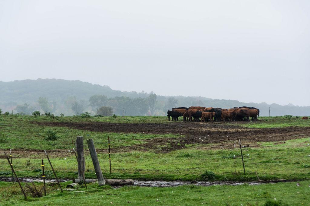 cows-fog-pasture