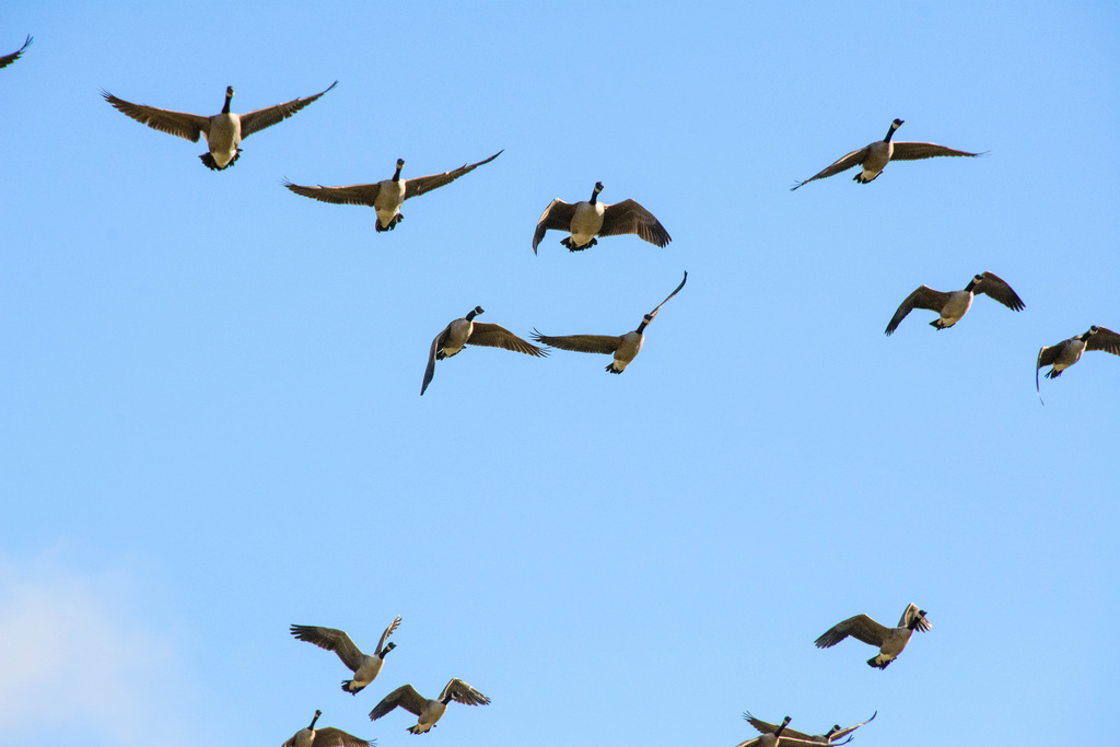 geese-in-flight