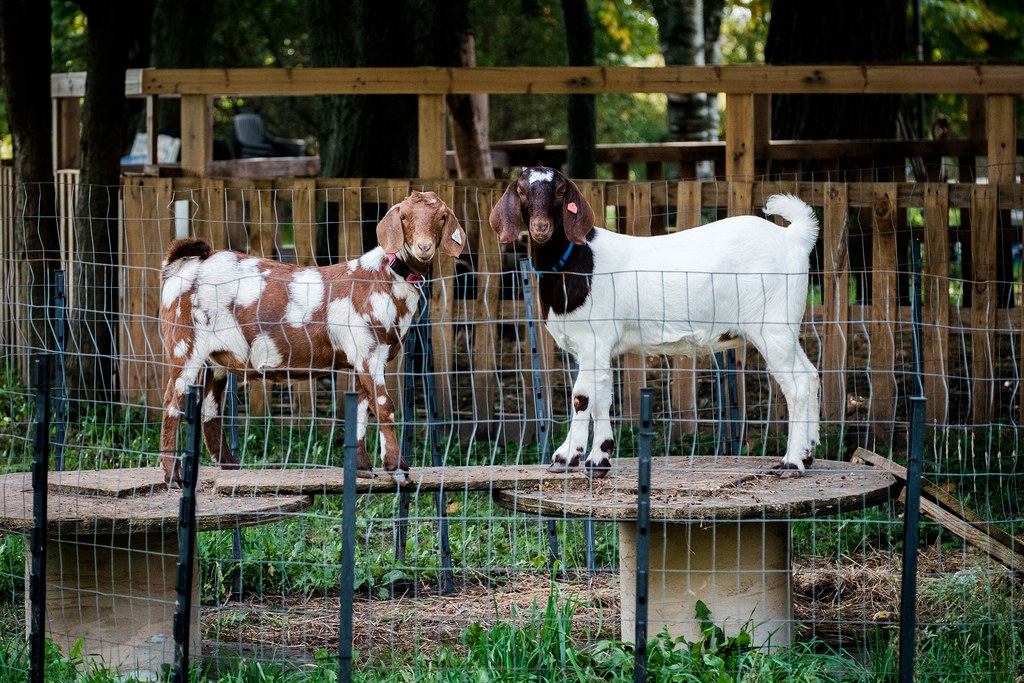 goats-being-goat-like