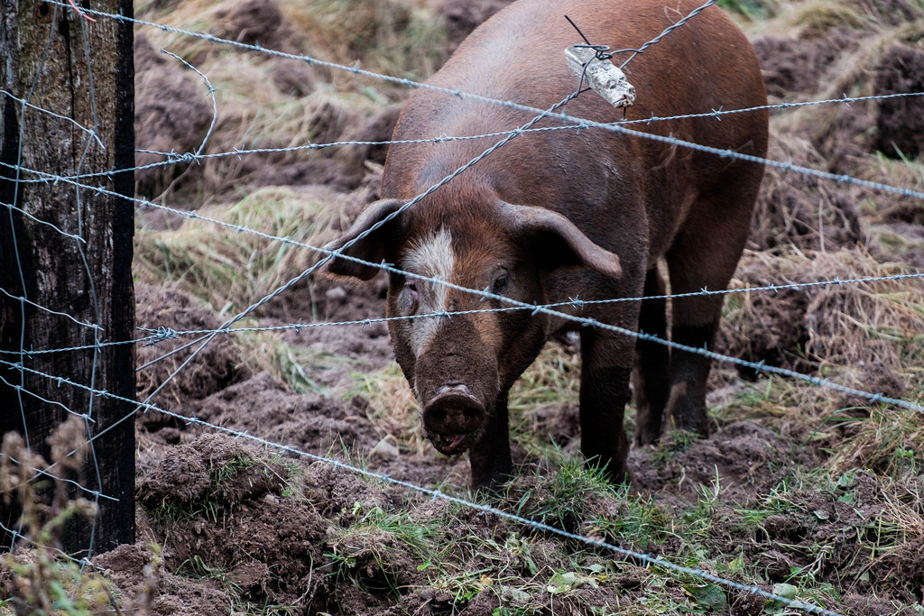 pig-rutting-barbed-wire