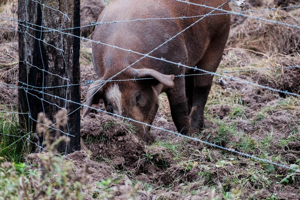 rutting-pig