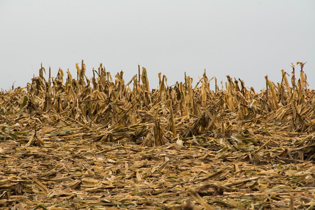 wet-spent-corn