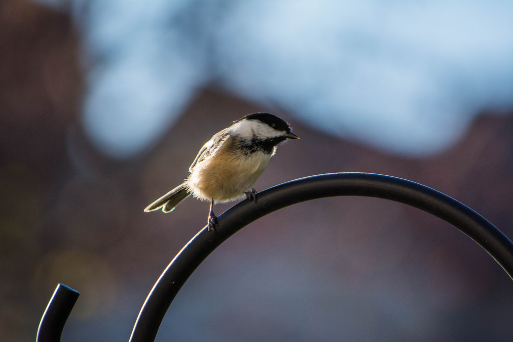 black-capped-chickadee_1