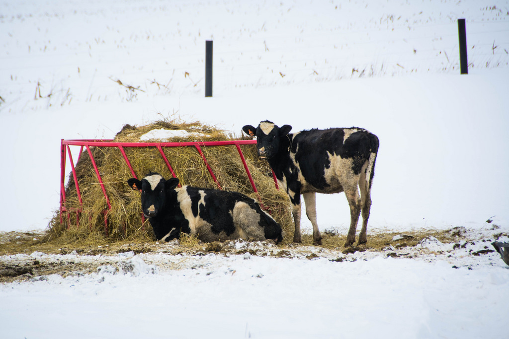 cows_and_hay