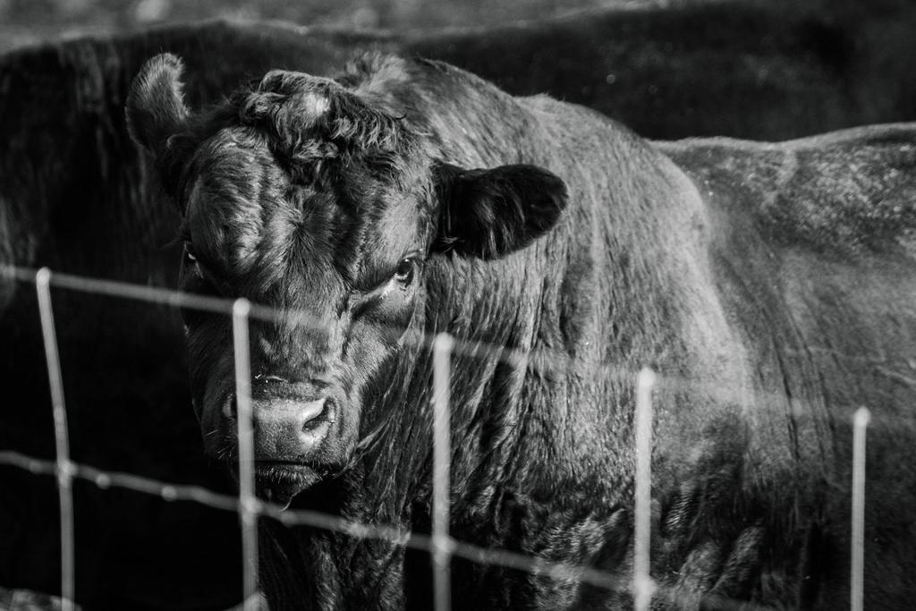 pissed-bull