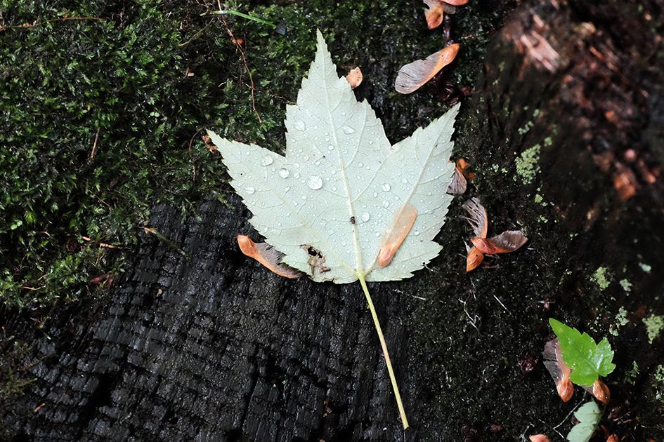 Wet leaf on log.